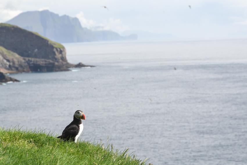 หมู่เกาะแฟโร, นกมิฟฟิน, ธรรมชาติ