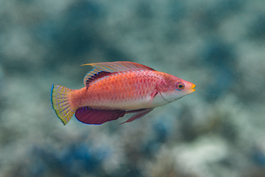 Flasher Wrasse