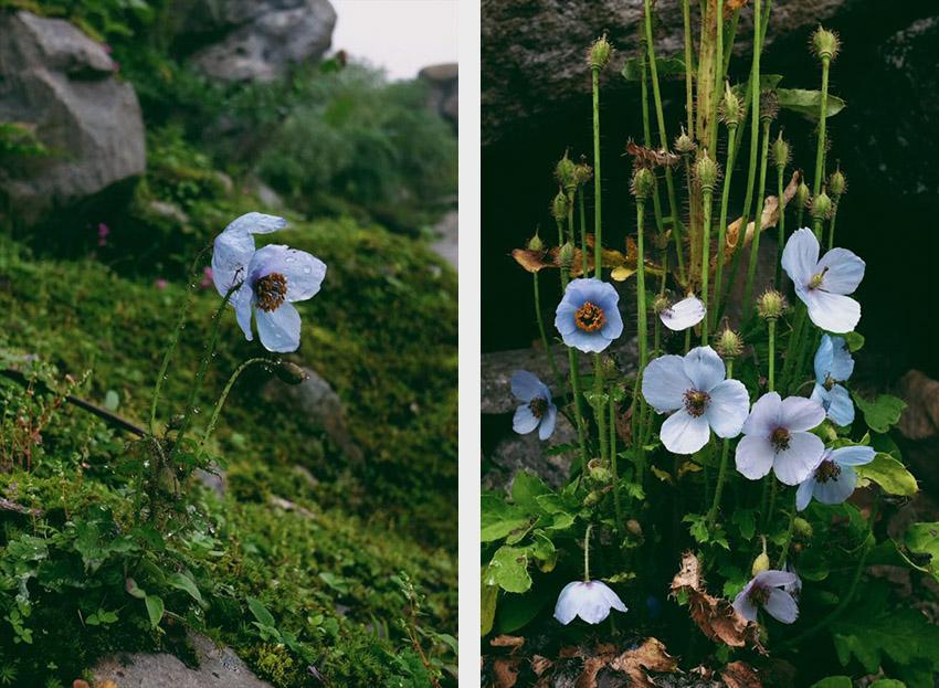 ดอกป๊อปปี้สีน้ำเงิน