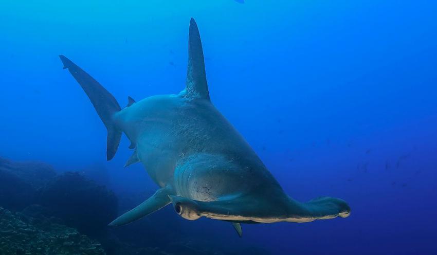 ฉลามหัวค้อน