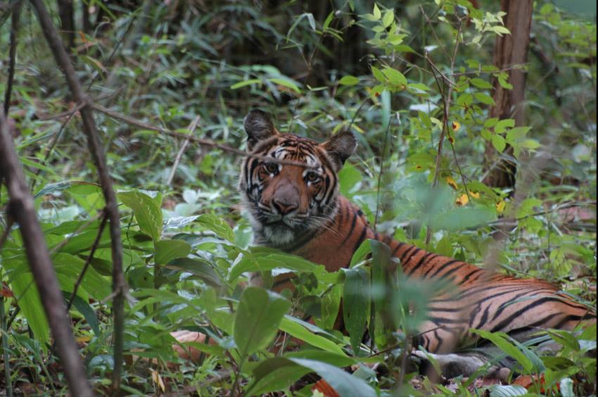 เสือโคร่ง, เสือ, สัตว์ป่า, ป่า, นักล่า, ปริญญากร วรวรรณ