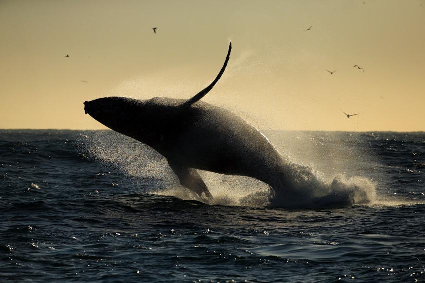 วาฬหลังค่อม