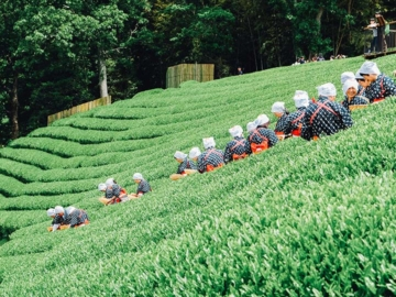 เยี่ยมไร่ชาลุงโอตะ ผู้ปลูกชาถวายพระจักรพรรดิ และขายชาขวดละแสนบาท