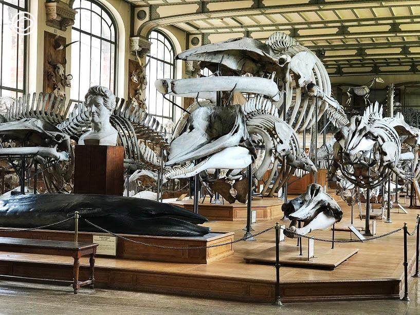 พิพิธภัณฑ์, โครงกระดูก, ไดโนเสาร์, ปารีส, ซากสัตว์