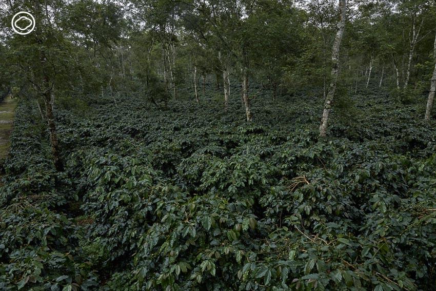 โบลาเวน, กาแฟลาว, ปลูกกาแฟ, ไร่กาแฟ ลาว, Dao Coffee