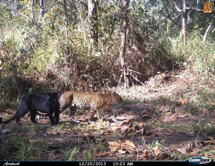 ภาพสัตว์ป่า, ห้วยขาแข้ง, กล้องดักถ่ายภาพ, เสือโคร่ง ห้วยขาแข้ง