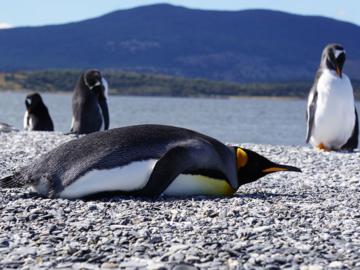 เพนกวิน, ประเทศอาร์เจนตินา