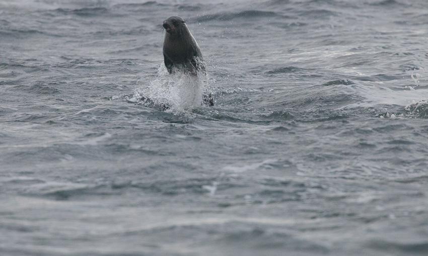 ฉลามขาว, เกาะแมวน้ำ