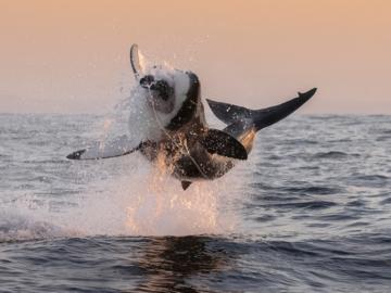 เสี้ยววินาทีแห่งการล่าของฉลามขาวที่เกาะแมวน้ำ บ้านของเหล่าแมวน้ำนับพันแห่งแอฟริกาใต้