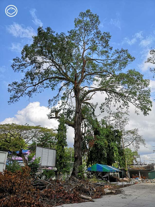 ต้นไม้, พายุปาบึก