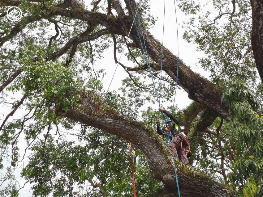การคืนชีพต้นไม้ในเมืองนครฯ ที่รุกขกรต้องการสื่อว่า ต้นไม้ใหญ่ไม่เป็นอันตราย หากเราดูแลอย่างถูกวิธี