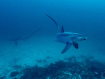 ฉลามหางยาว, Monad Shoal