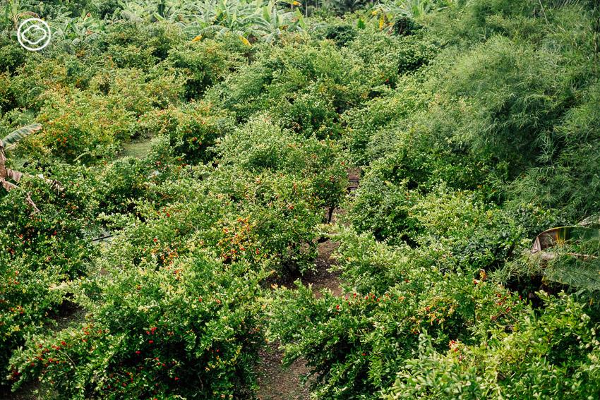 สวนมะนาวโห่ลุงศิริ, อัมพวา
