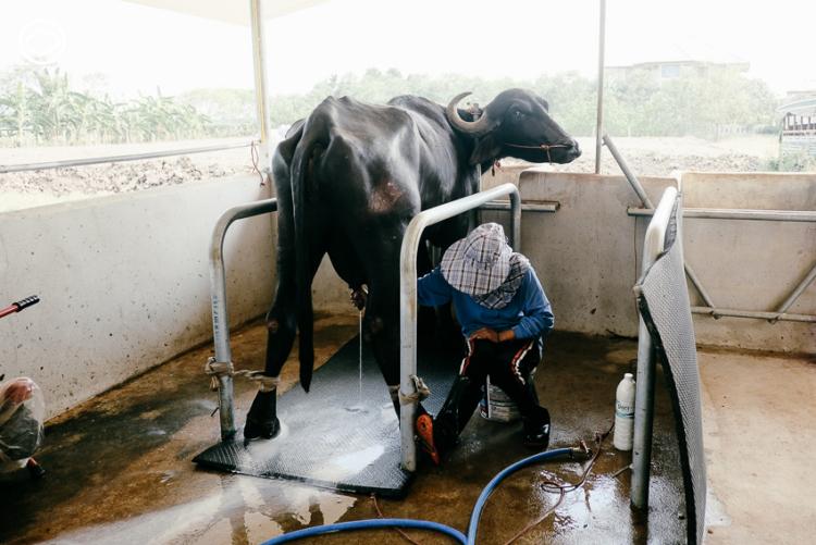 สอนศิริฟาร์ม, นมควาย