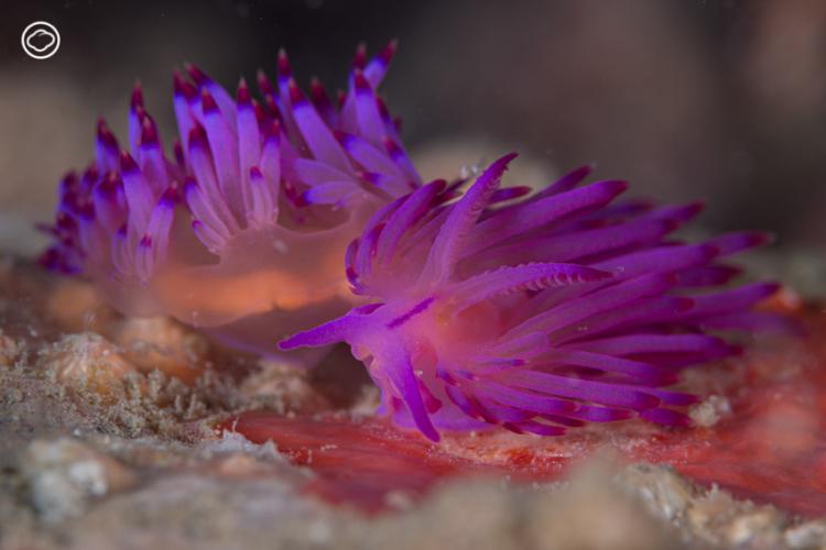 ทากทะเล อัญมณีล้ำค่าใต้ท้องทะเลที่เก็บสะสมได้ในความทรงจำ