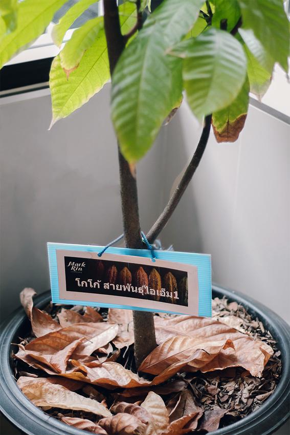 ต้นโกโก้พันธุ์ I.M.1