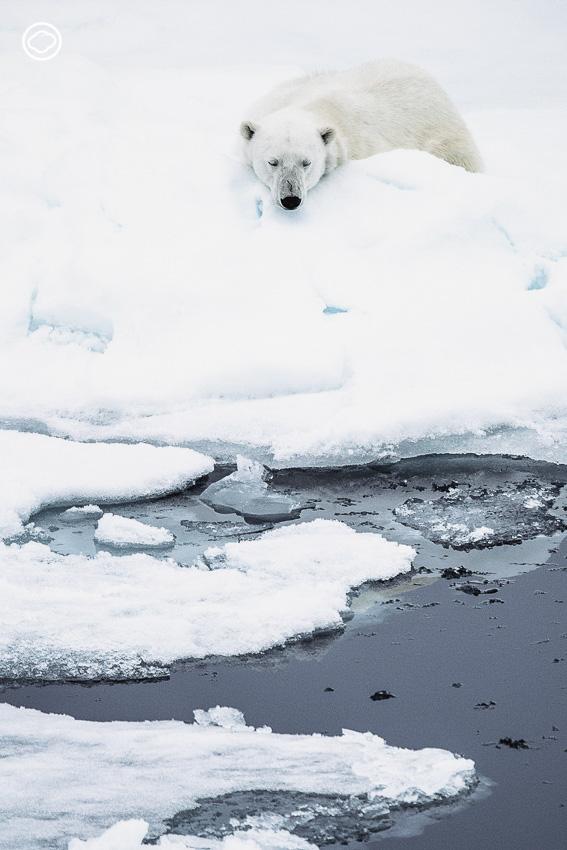 หมีขั้วโลก
