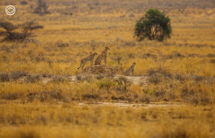 ตามติดวินาทีล่าเหยื่อของแม่ชีตาห์ ลูกอ่อน นักวิ่งฟลมกรดแห่งแอฟริกา