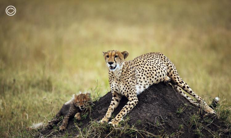 ตามติดวินาทีล่าเหยื่อของแม่ ชีตาห์ ลูกอ่อน นักวิ่งฟลมกรดแห่งแอฟริกา
