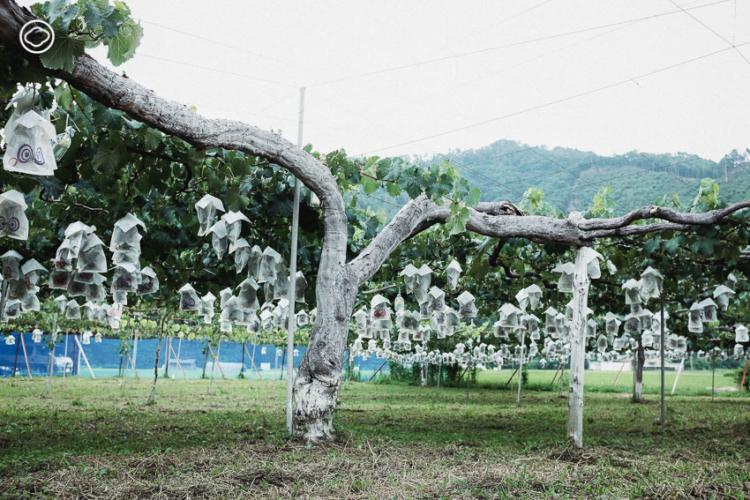 Takami Farm ไร่องุ่นแห่งอุเอดะที่สืบทอดเคล็ดลับการปลูกองุ่นเคียวโฮจากสมุดบันทึกของคุณปู่