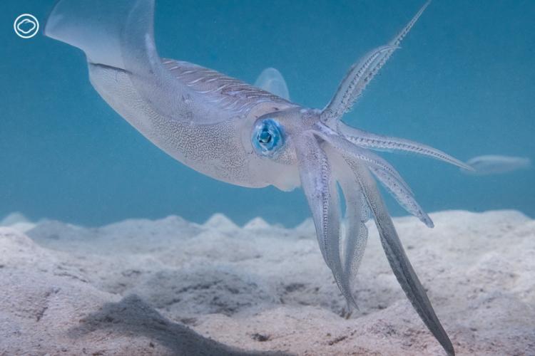 เรื่องเล่าจากใต้น้ำของระยะความสัมพันธ์ระหว่างแม่ หมึกหอม กับ ช่างภาพใต้น้ำ ที่แลกความไว้ใจด้วยเวลา