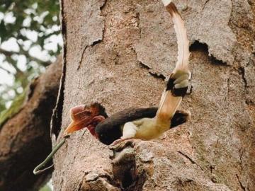 ปรีดา เทียนส่งรัศมี หนุ่มเพาะช่างผู้ทุ่มเททำงาน 20 ปี จนนกเงือกในป่าลึกภาคใต้ของไทยรอดจากการสูญพันธุ์