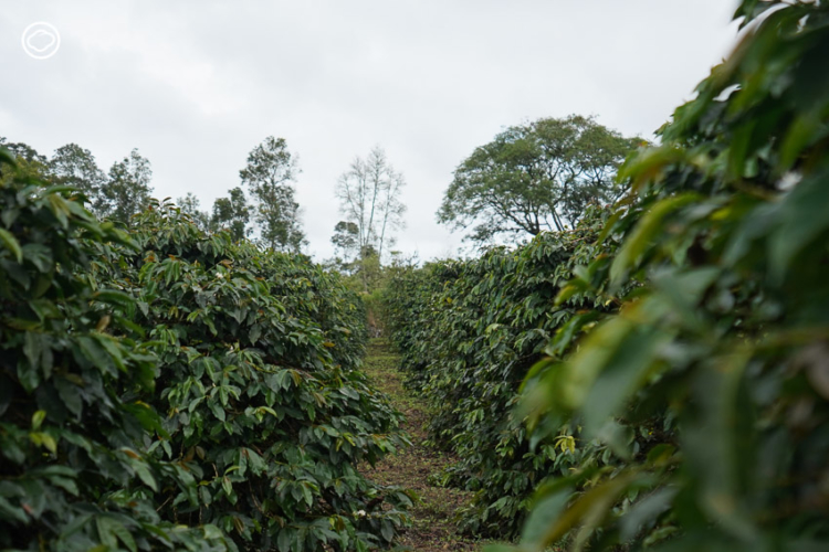Eko Purnomowidi ผู้ออกเดินทางไปรื้อศาสตร์เกษตรโบราณทั่วอินโดฯ เปลี่ยนสวนกาแฟเคมีเป็นป่ากาแฟ