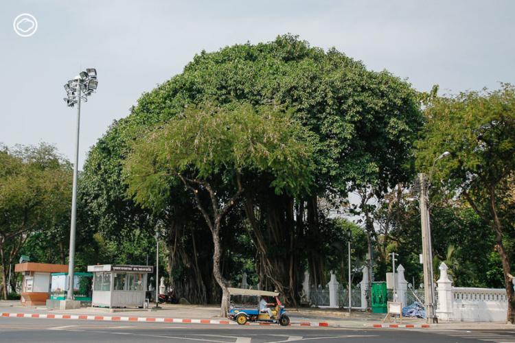 คารวะ 8 คุณปู่ต้นไม้ในที่ให้ร่มเงากับชาวพระนครเสมอมา