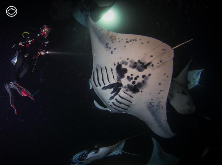 ดำน้ำไปสังเกตการณ์ Plankton Blooms ปรากฏการณ์รวมฝูง กระเบนราหู ยิ่งใหญ่ที่สุดในโลกที่ฮาวาย