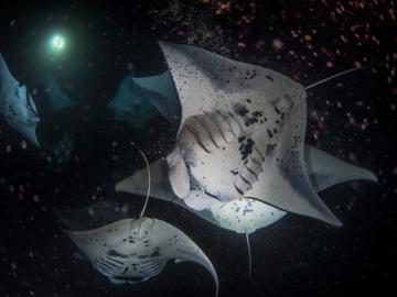 ดำน้ำไปสังเกตการณ์ Plankton Blooms ปรากฏการณ์รวมฝูงกระเบนราหูยิ่งใหญ่ที่สุดในโลกที่ฮาวาย