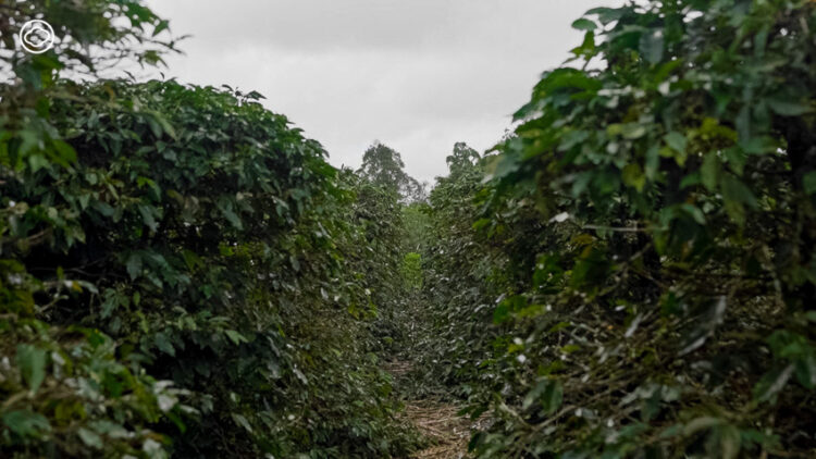 เดินทางไปหาเผ่าบาตัก อินโดนีเซีย เรียนรู้ภูมิปัญญาการทำกาแฟกับชนเผ่าที่มีกาแฟเป็นชีวิต
