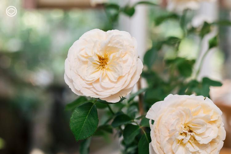 6 ต้นไม้ แทนใจที่เหมาะจะมอบให้กันแทนช่อดอกไม้ในวันแห่งความรัก, วาเลนไทน์