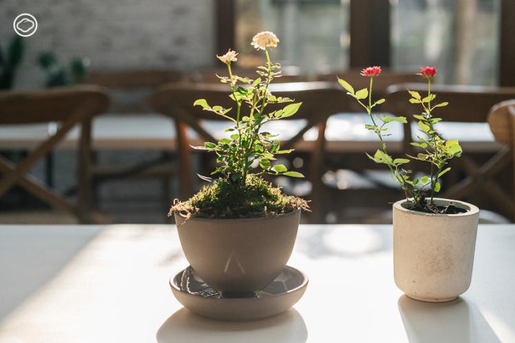 6 ต้นไม้ แทนใจที่เหมาะจะมอบให้กันแทนช่อดอกไม้ในวันแห่งความรัก, ต้นกุหลาบแคระ, วาเลนไทน์