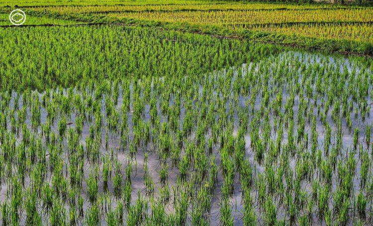 ชาวนายโสธร เมืองข้าวหอมมะลิ กับการทำ เกษตรอินทรีย์ จนคืนพืชและแมลงที่หายไปสู่ท้องนา