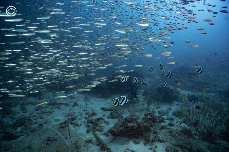 ดำน้ำใต้พายุกระแสน้ำขุ่นและ IOD ปรากฏการณ์อุณหภูมิน้ำเปลี่ยนรุนแรงสุดใน 60 ปีที่ สิมิลัน