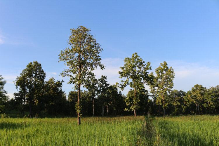 ข้าวหอมดอกฮัง แบรนด์ชุมชนโคกสะอาดที่ขายข้าวจากนาล้อมด้วยป่าและรักษาพันธุ์ข้าวพื้นเมือง