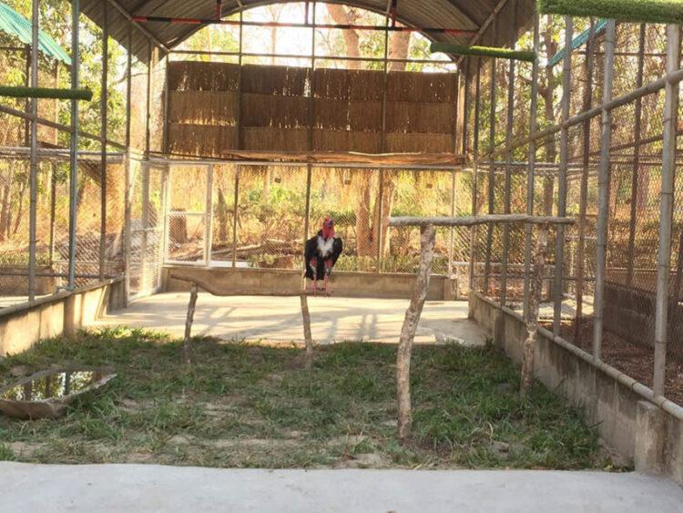 ปฏิบัติการพาพญาแร้ง นกนักกินซากที่สูญพันธุ์จากธรรมชาติกว่า 30 ปีกลับคืนป่าเมืองไทย, พญาแร้ง สูญพันธุ์
