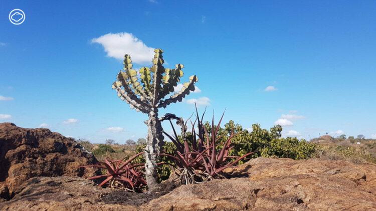 ต้นไม้ 5 ต้นที่เรานึกว่าเป็นของไทย แต่แท้จริงแล้วมาจากมาจาก แอฟริกา, ต้นไม้ แอฟริกา