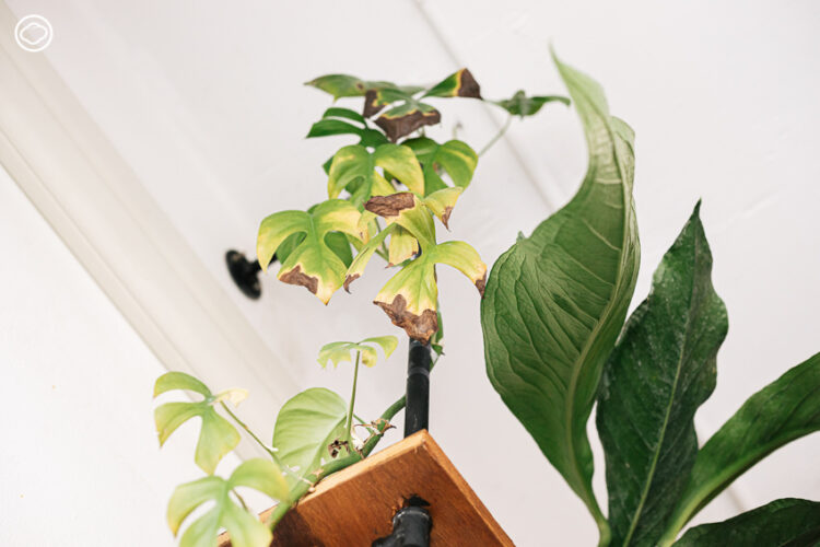 7 วิธีปลดล็อกปัญหาที่มักเกิดกับนักปลูกไม้ใบมือใหม่ที่แก้ง่าย แก้ได้ด้วยตัวเอง, ใบไหม้, ใบเป็นจุดสีน้ำตาล, แมลงในกระถางต้นไม้