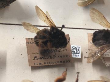 แกะรอย Bumblebee ผึ้งสีดำ ในมิวเซียมลอนดอน ที่มาจากนครศรีธรรมราชเมื่อเกือบร้อยปีก่อน, The Natural History Museum