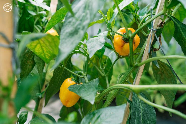 Sweet & Green ฟาร์มช็อปในบ้านย่านเอกมัยที่ส่งผักผลไม้ปลอดภัยจากปากช่องถึงคนเมือง