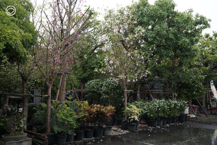 6 ตลาดต้นไม้น่าเดินย่านบางบัวทอง ที่คุณจะได้ต้นไม้เก๋ แปลก ดี และราคาถูก, ตลาดต้นไม้ บางบัวทอง, แสงอารีการ์เด้น, ศูนย์พันธุ์ไม้วัดพระเงิน, ตลาดขายส่งต้นไม้พระเงิน, การ์เด้นท์เซ็นเตอร์, ตลาดสามพี่น้อง, ตลาดบุญยงค์