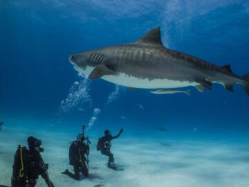 ทุบประปุกเดินทางไปหา ฉลามเสือ ยัง Bahamas ประเทศที่ทั้งประเทศเป็นเขตอนุรักษ์พันธุ์ฉลาม