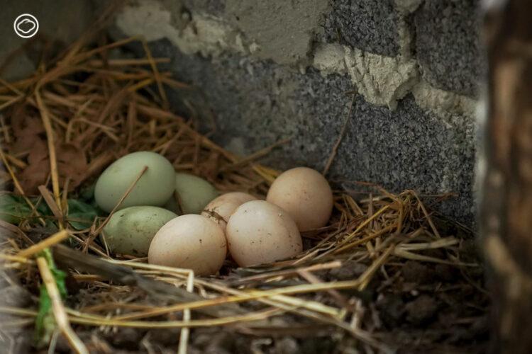 วิธีเลี้ยงไก่ พันธุ์ที่ออกไข่หลากสีในบ้านกลางเมือง เราจะมีไข่ออร์แกนิกสดๆ กินทุกวัน, เลี้ยงไก่ไข่