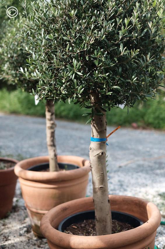 หลักง่ายๆ ในการเลือก 'ต้นมะกอกโอลีฟ' พืชต่างประเทศโตง่ายที่โตได้ดีในไทย