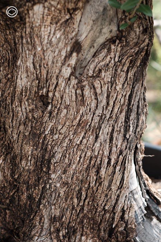 หลักง่ายๆ ในการเลือก ต้นมะกอกโอลีฟ พืชต่างประเทศโตง่ายที่โตได้ดีในไทย