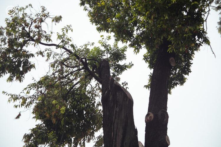 15 วิวัฒนาการบางกอกผ่านการเติบโตและคงอยู่ของคุณปู่ ต้นไม้รอบเกาะรัตนโกสินทร์, Walk with The Cloud 27 : Island of Heritage Trees