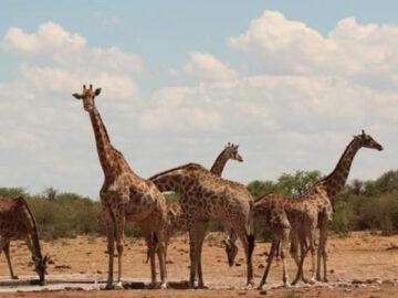ที่เที่ยว นามิเบีย ประเทศทะเลทรายที่เก่งเรื่องดูแลสัตว์ป่าแอฟริกาใกล้สูญพันธุ์
