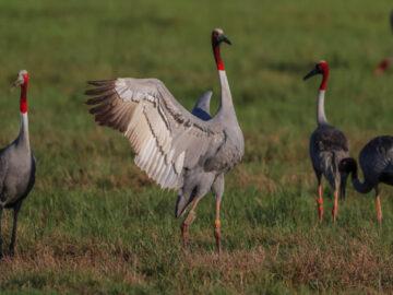เงาตะคุ่มของ นกกระเรียนพันธุ์ไทย ที่เคยสูญพันธุ์จากไทยกว่า 50 ปีในจังหวัดบุรีรัมย์