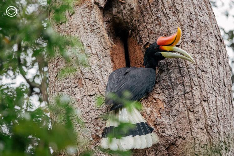 โครงการอุปการะครอบครัวนกเงือก หนทางของคนเมืองในการรักษาชีวิตสัตว์ป่าคุ้มครองไทย